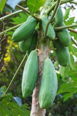 papaya fruit on the tree