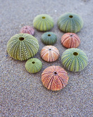 variety of colorful sea urchins on the beach
