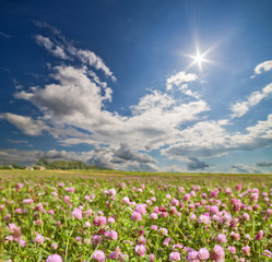 large pink clover meadow under bright sun