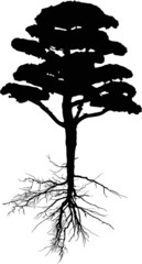 black pine tree with long root