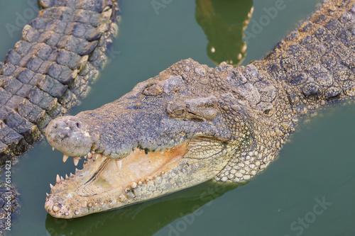 Foto op Plexiglas Krokodil Head of a crocodile in the water with green duckweed