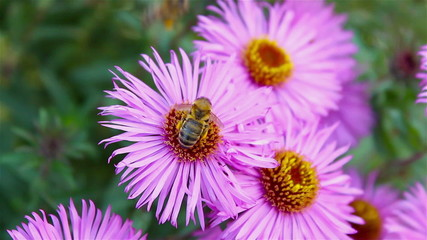 bee on a flower aster