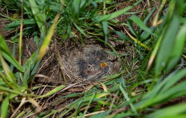 Lark nest with little birdies