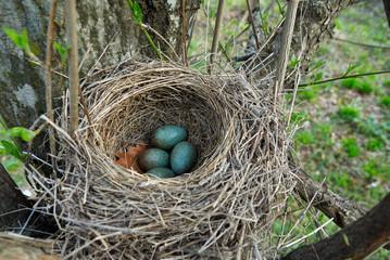Blackbird nest with eggs