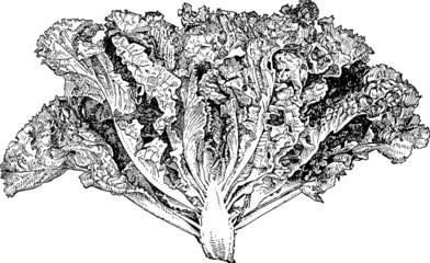 Vintage graphic green lettuce