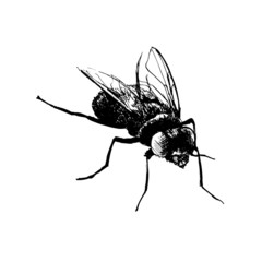 Hand drawing fly. Vector illustration
