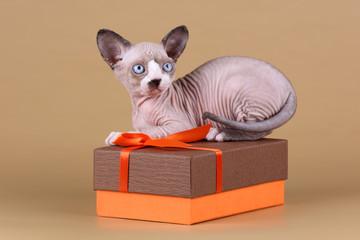 Sphynx kitten in a box