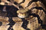 Rattlesnake (Crotalus atrox) poster