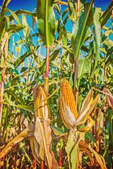 view on corn plants close up Instagram stile