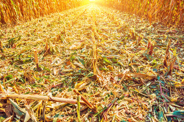 view on surface of corn field after harvest in evening Instagram