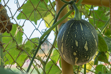 Gourd on fence