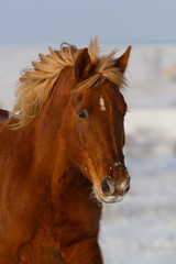 Red horse portrait in winter snow field