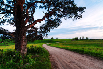 Pines near a rural road with a field of dandelions