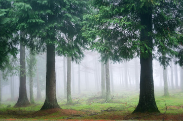 cypress forest with fog