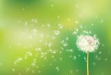 Fototapeta Vector spring  background with white dandelion.