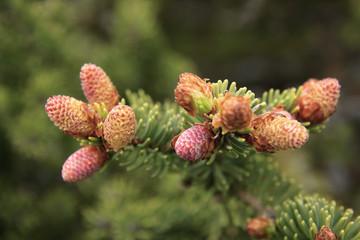 Spruce spring.