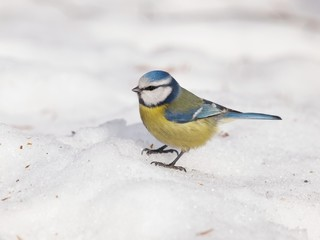 Eurasian blue tit on snow