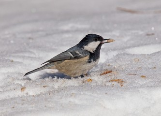 coal tit (Periparus ater) on snow