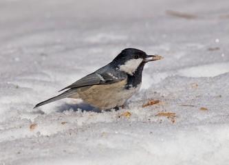 coal tit (Periparus ater) on snow