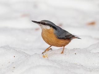 Eurasian nuthatch (Sitta europaea) on snow