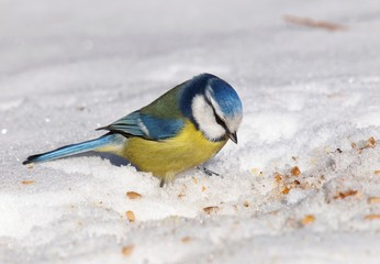 Eurasian blue tit on snow