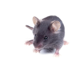 Black baby mouse on a white background