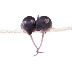 Two black little mouse sitting on a rope grappled tails. Isolate
