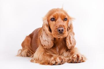 Spaniel puppy lie