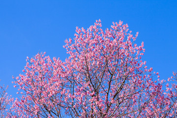 Beautiful pink cherry blossom (Sakura) flower at full bloom on b
