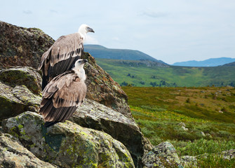 Couple of Griffon vulture