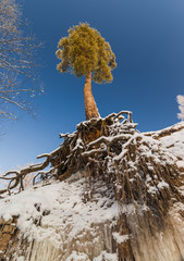 Pine tree with naked roots