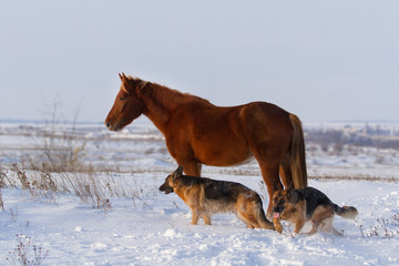 Horse stay in snow field with two shepherd