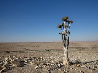 Lonely dragon tree