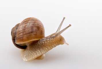 Crawling snail isolated on a white background