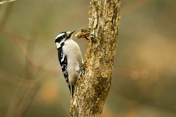 Female Downy Woodpecker on a Tree