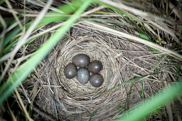 Anthus trivialis. The nest of the Tree Pipit in nature.