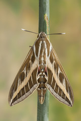 Striped Sphinx (Hyles livornica)