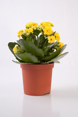 Mini yellow kalanchoe