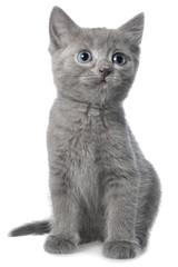 Small gray shorthair kitten sitting isolated