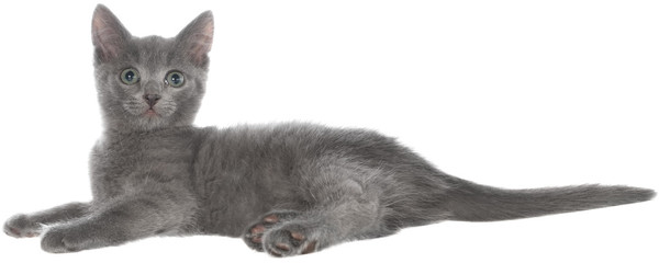 Small gray shorthair kitten lie