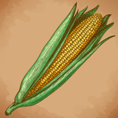 Engraving  woodcut illustration of corn
