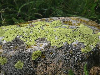 lichen dans les Alpes