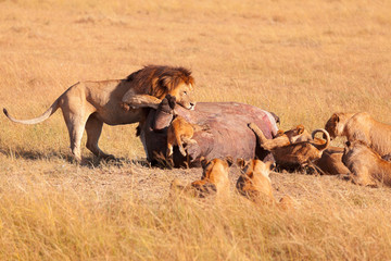 Pride of lions eating a pray in Masai Mara