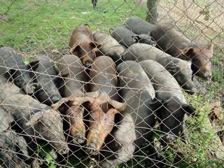 Cerdos en granja ecológica esperando que les den de comer