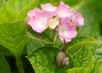 紫陽花と蝸牛