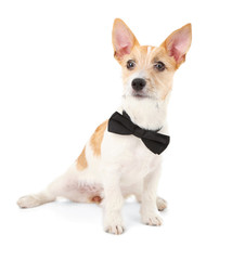 Funny little dog Jack Russell terrier with bow tie, isolated
