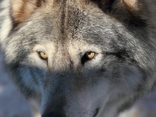 gros plan d un loup