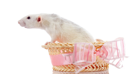 White rat in a basket with a bow.