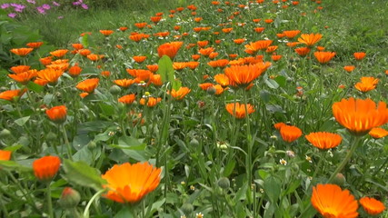 calendula marigold medical flowers blossoms and butterfly