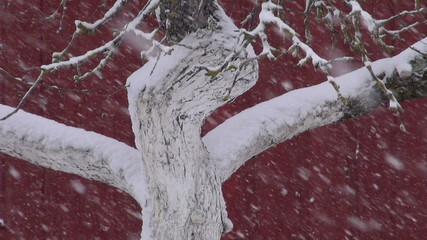 old apple tree trunk in garden and snowstorm snowfall